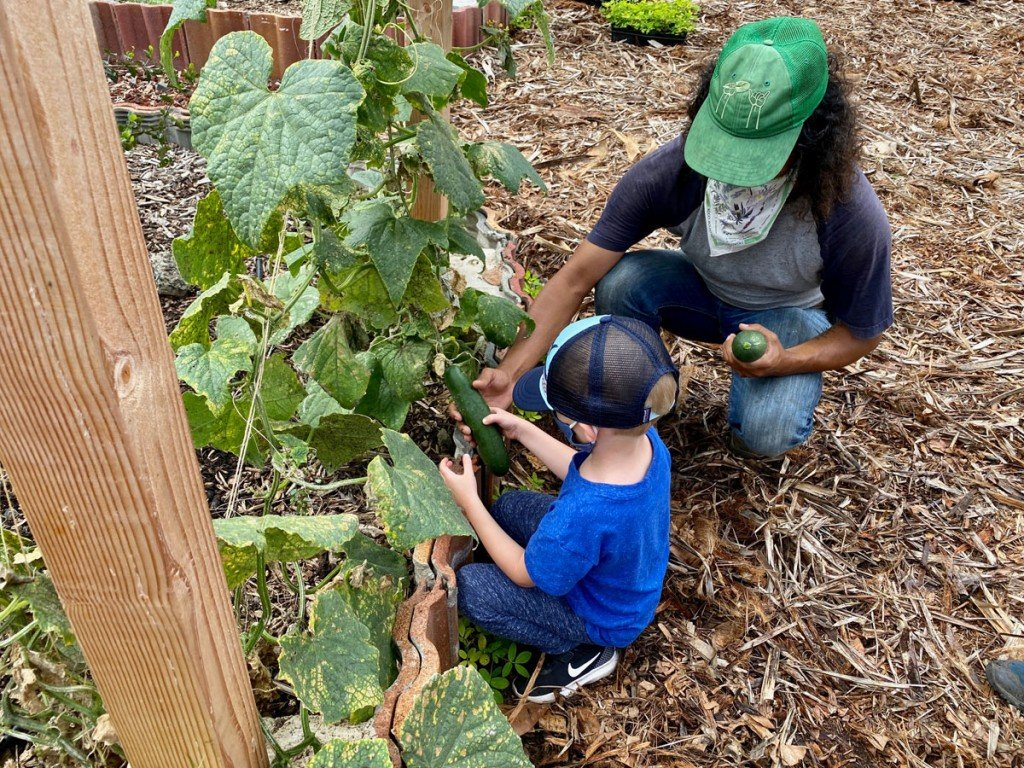 Surfrider Foundation Garden Harvest Cucumber Photo Laura Dornbush
