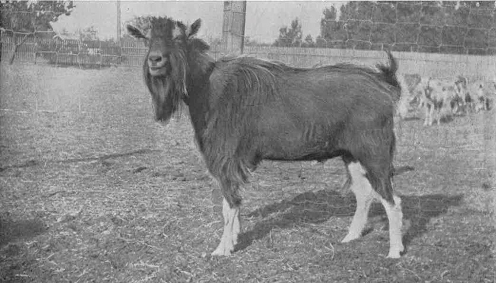 Hn2105 C6 Fof Scan 1921 Goat 2