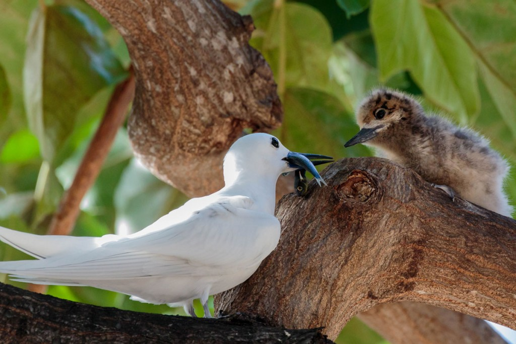 4 Adult Mok Feeding Chick Rich Downs Courtesy Conservation Council Of Hawaii