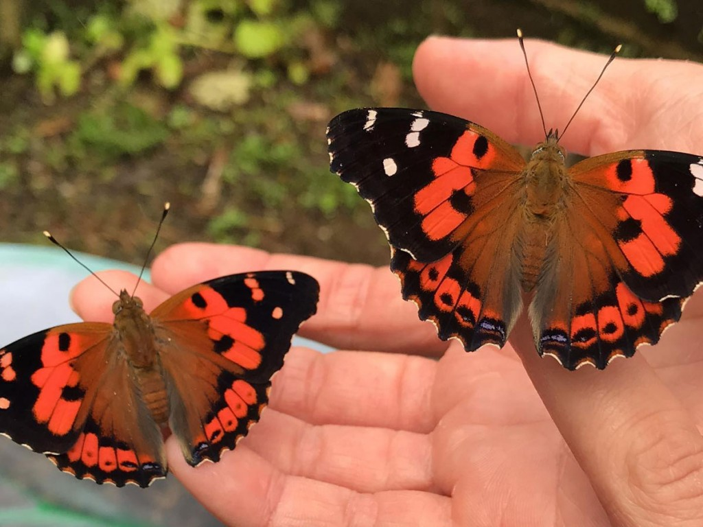 Kamehameha Butterfly Sharing The Butterfly Experience 1200