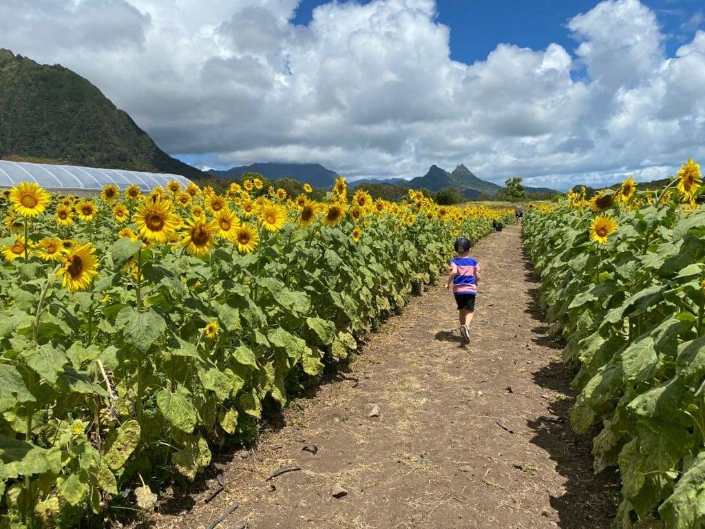Waimanalo Country Farms Sunflowers Corridor Photo Laura Dornbush