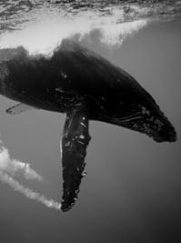 Humpbackwhales