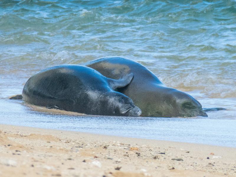 On The Brink Hawaiian Monk Seals