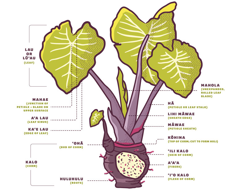 Essential Guide Taro Kalo Anatomy
