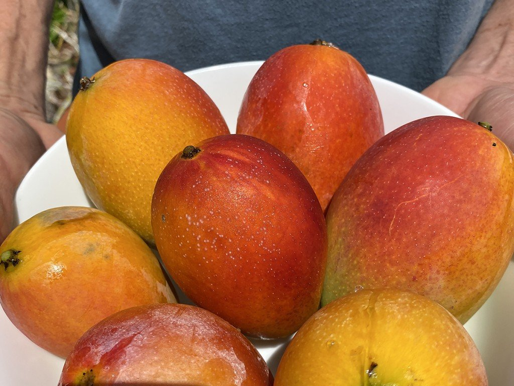 Hawaiis Gold The Sacredness Of Mangoes Close Up Mango
