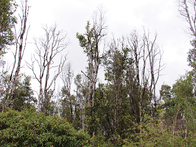 Rapid Ohia Death Hawn Acres