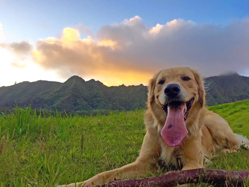 Hawaiian Humane Calendar Labrador