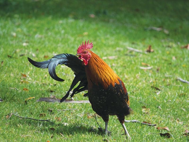 Kauai Guide Chicken