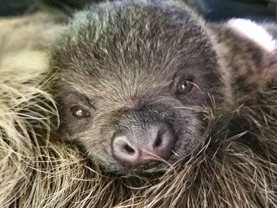 Sloth Baby Teaser