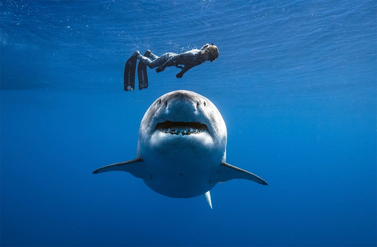ocean ramsey and great white shark