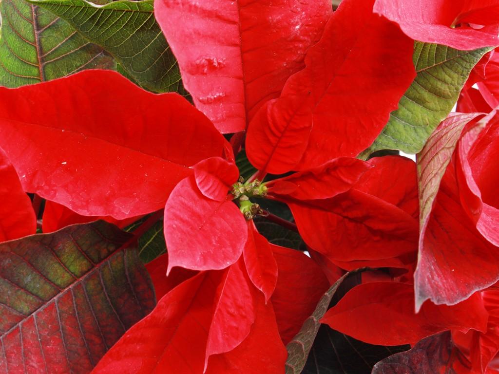 Honolulu Red Poinsettia Freepik