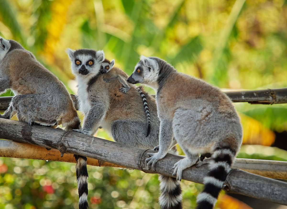Baby lemurs at the Honolulu Zoo