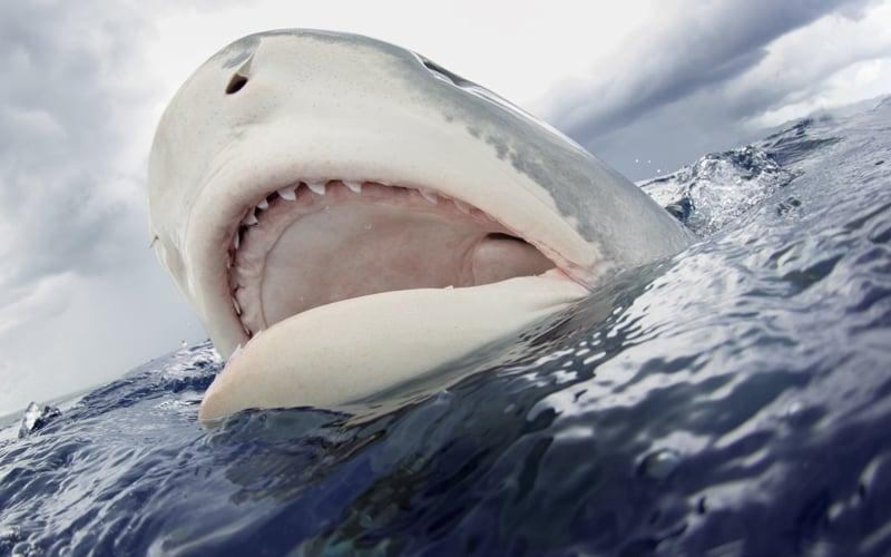 Splash Shark