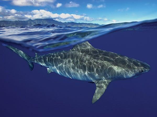 Shark Splash