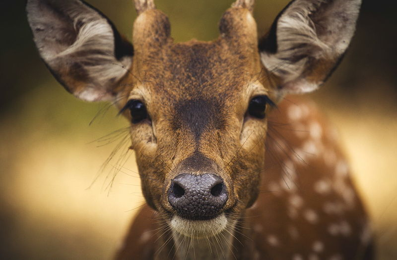 800px Chital Deer Muthanga