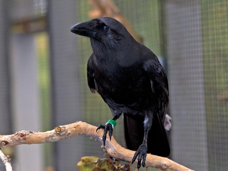 Endangered Hawaiian Crow Alala
