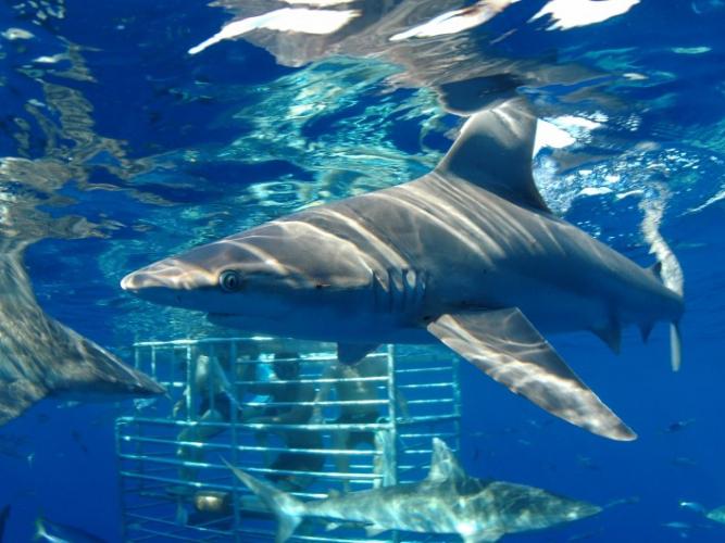 Thumb Sharkencounters