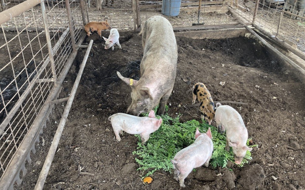 Mtnviewfarms Pigs