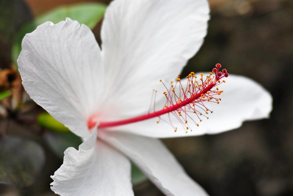 Waimea Hibiscus Courtesy Of Waimea Valley 1200