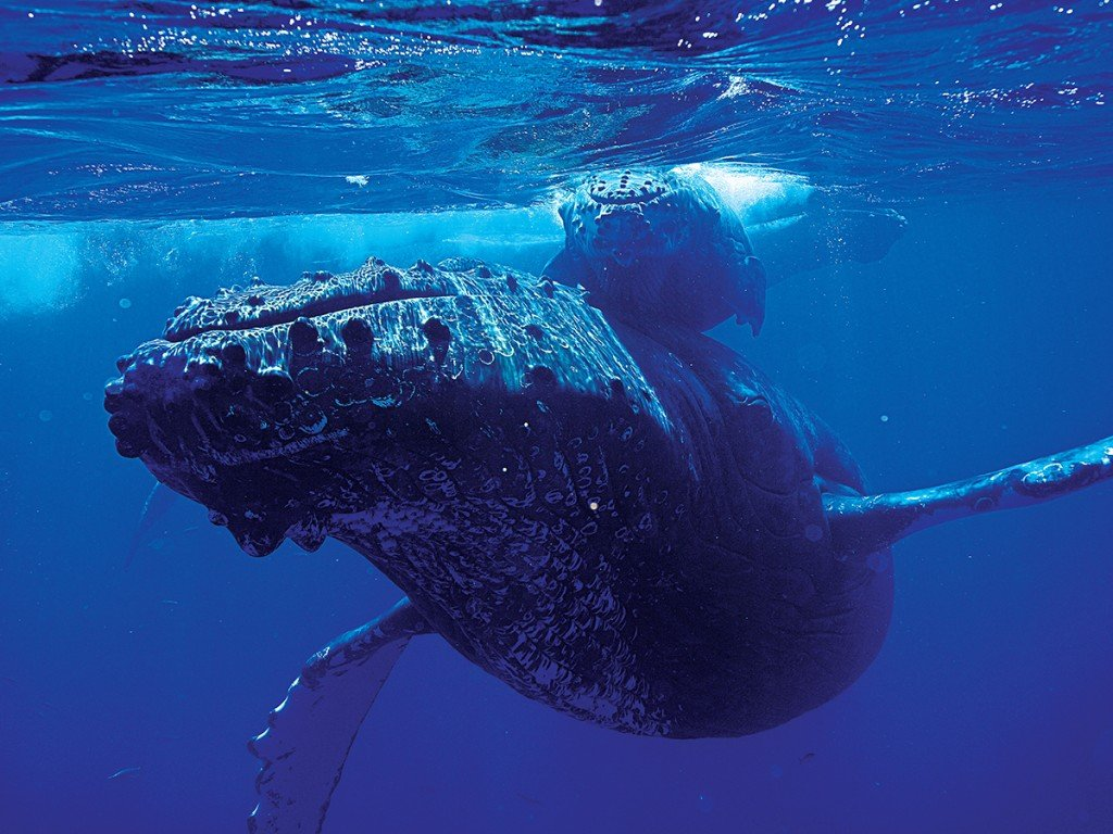 Humback Whales Hawaii Winter Season