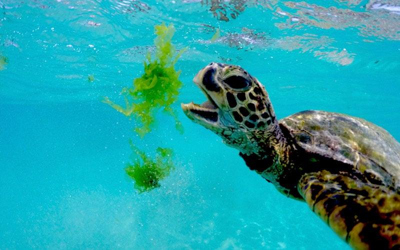 World Conservation Congress Turtle