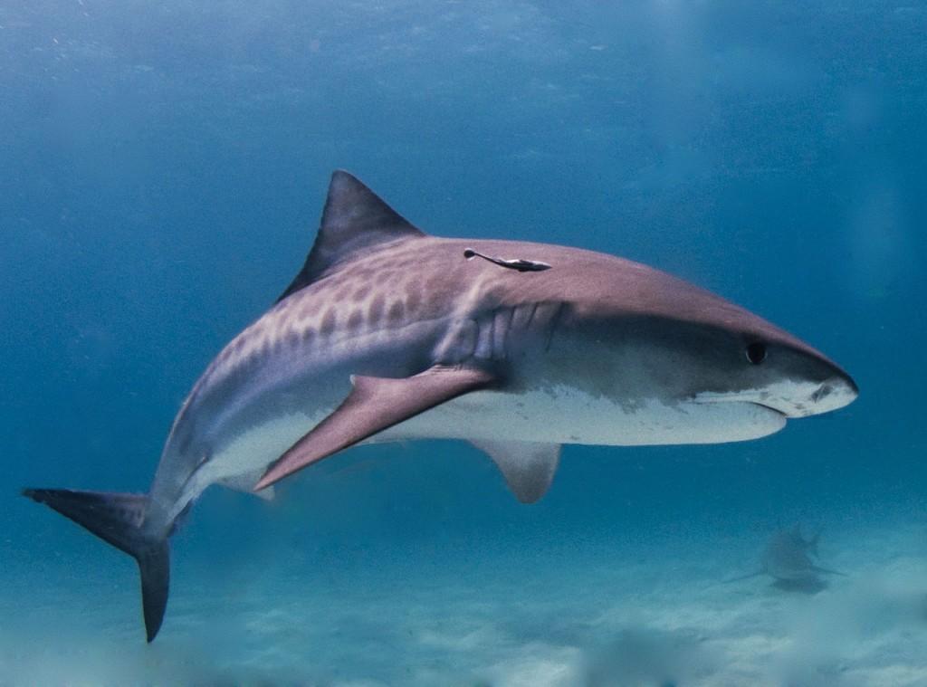 1280px Tiger Shark