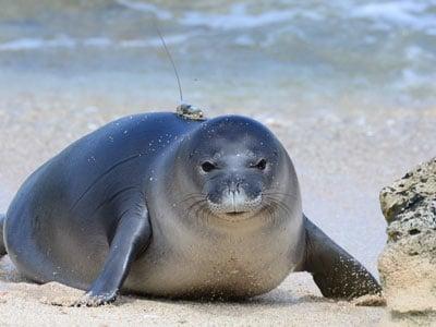 Kaimana Monk Seal Teaser
