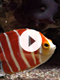 Peppermintangelfish1