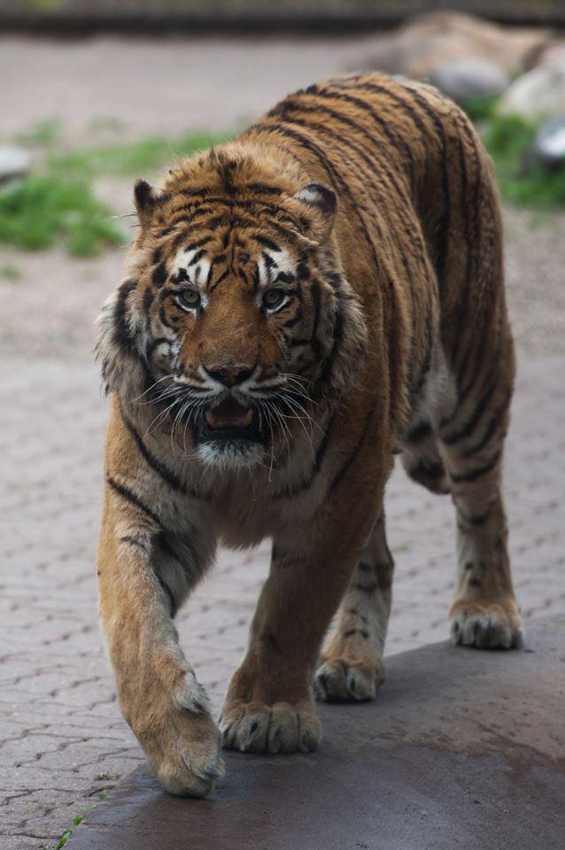 Hobbes Chahinkapa Zoo