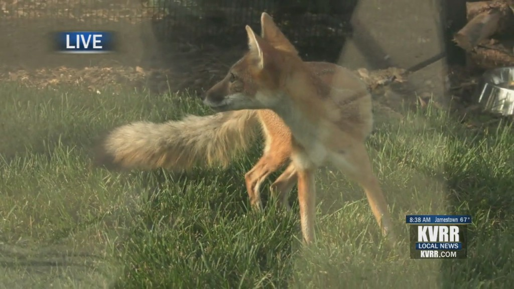 Live Hit Foxes