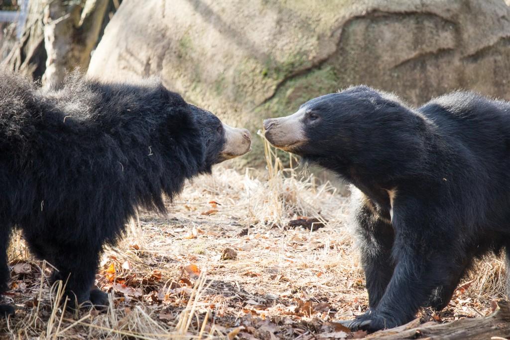 Slothbears Kaylaandbhalu 2919