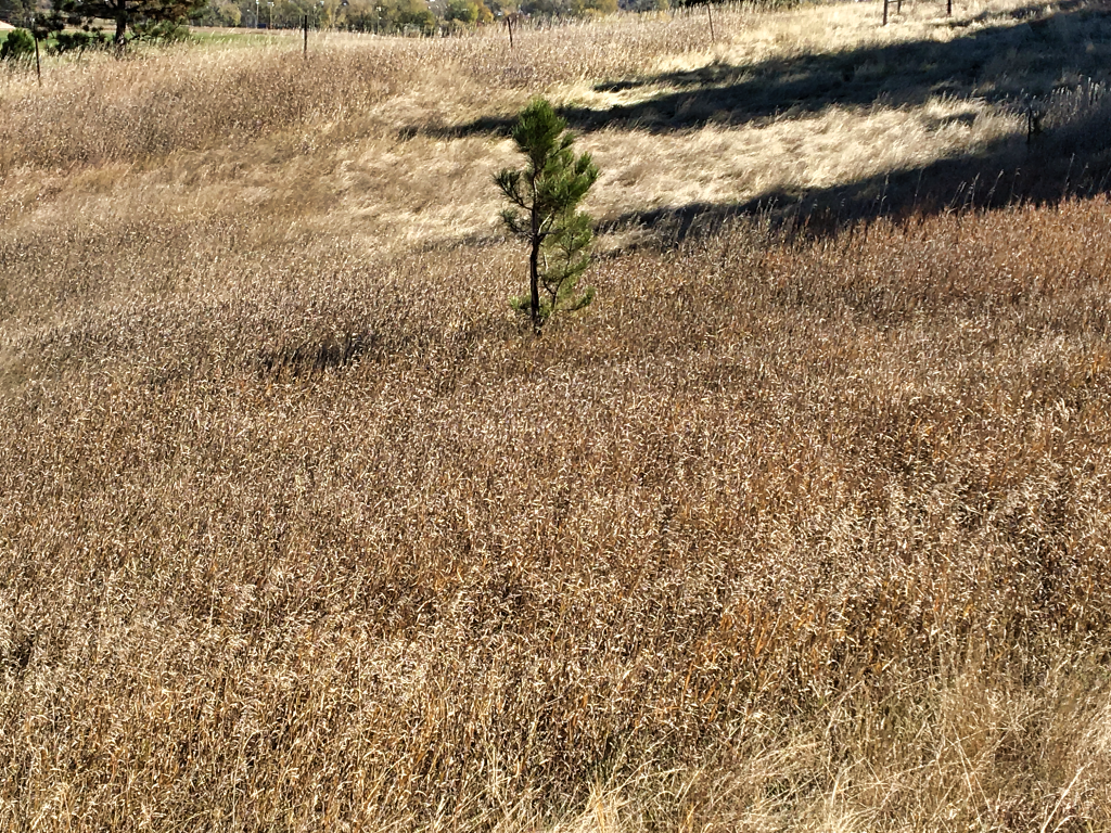 A small pine tree grows in a field of dry, cured grass. Officials are warning that even though cool weather is coming, wildfire danger remains a serious concern. Photo Date: Oct. 19, 2018.