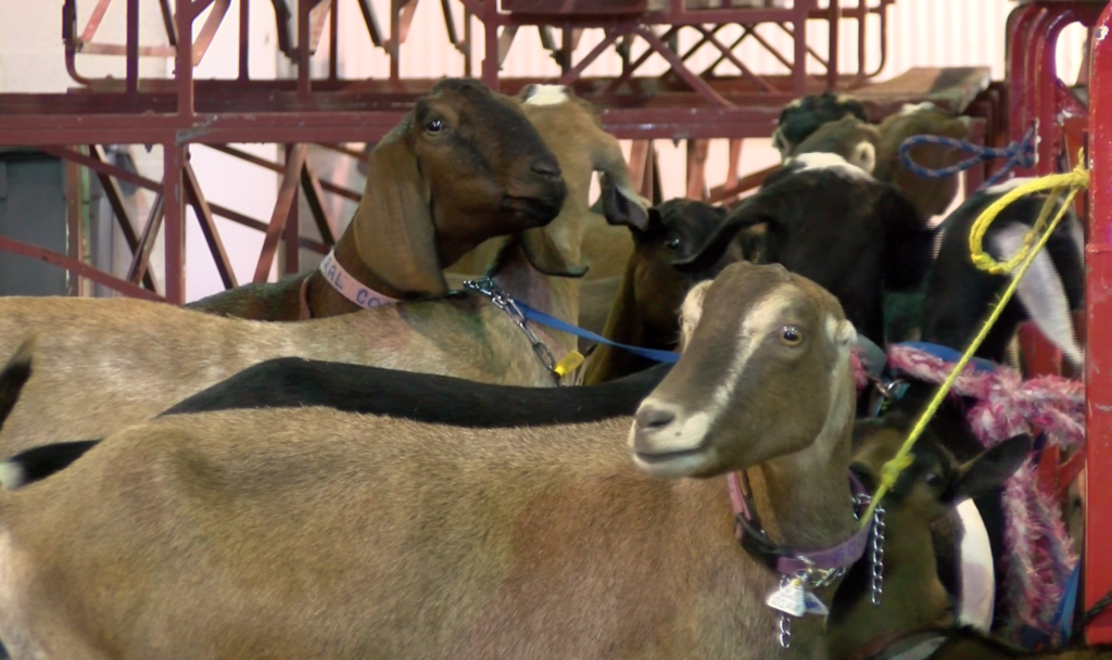Goats at the Western Junior Livestock Show on Oct. 12, 2018