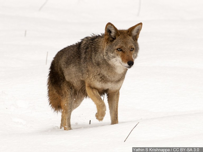 Coyote Kills Small Dog In Sioux Falls Knbn Newscenter1