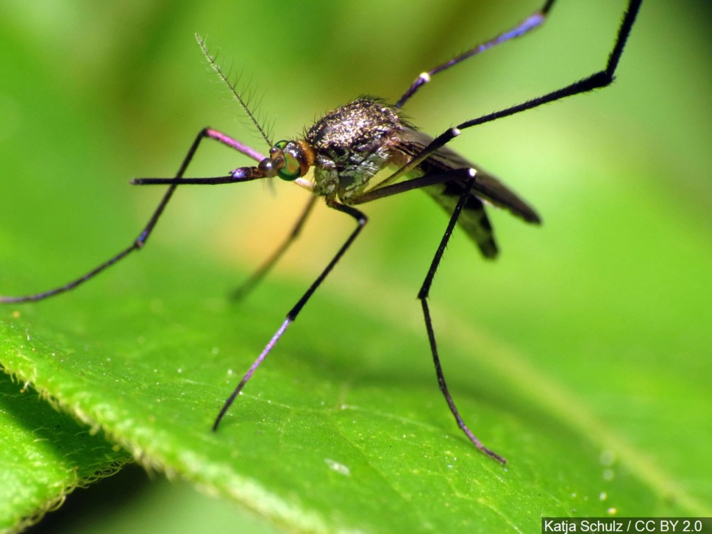 mosquito sitting on leaf