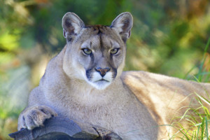 Mountain Lion Youth Workshop @ Adams Museum | Deadwood | South Dakota | United States