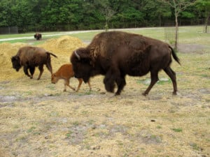 a momma buffalo and a baby buffalo