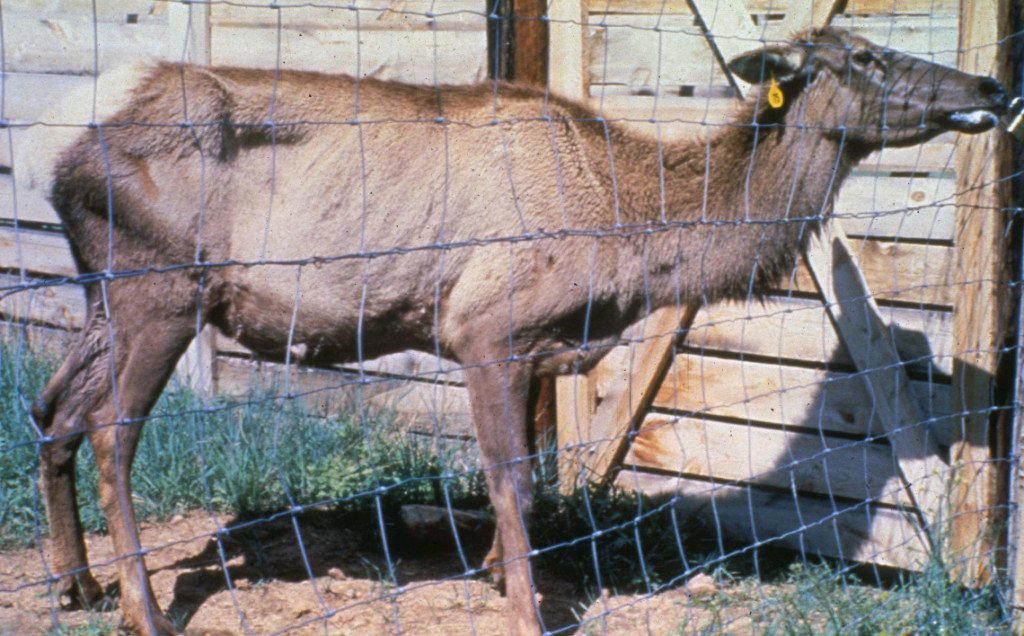 Picture of Elk with Chronic Wasting Disease