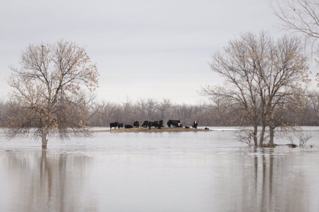 Cattle stranded following flooding