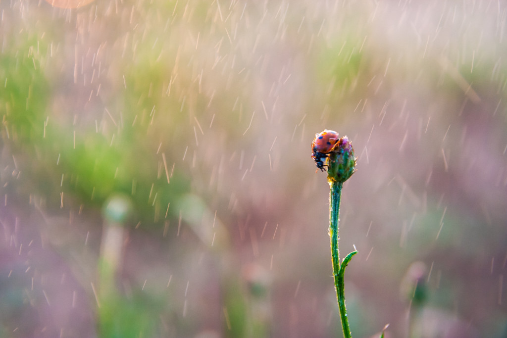 ladybug on a flower in the rain