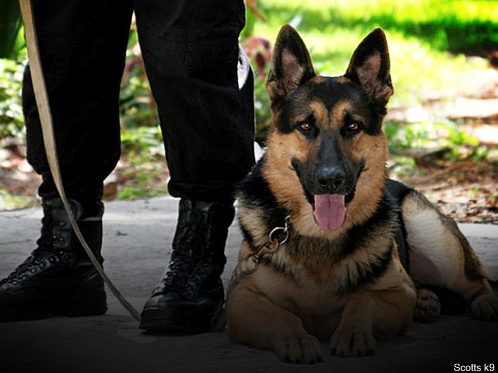 police dog sits at feet of officer