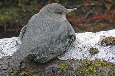 American dipper bird sits on a rock