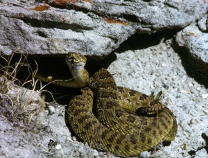 Rattlesnake vaccinations for dogs - KNBN NewsCenter1