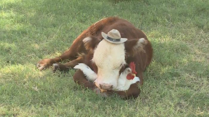 Barnyard Besties: Calf & Chicken Bond At Arizona Sanctuary