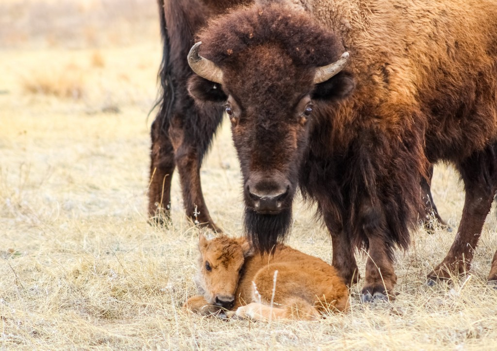 Custer State Park 1st Bison 2021