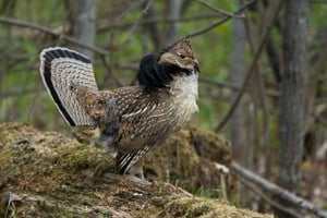 fewer sharptails and huns more ruffed grouse expected in north