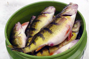Dnr lake erie walleye yellow perch hatches near annual for Lake erie perch fishing report central basin