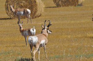 Harsh winter means fewer antelope deer hunting licenses for Wyoming game and fish regulations
