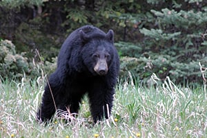 state faces bear mange epidemic outdoornews