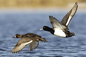 Horicon, Wis. U2014 Wisconsin Duck Hunters Will Get One Of The Most Liberal  Hunting Seasons Ever With Not Only 60 Days And Two Canvasbacks Per Day, ...